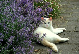 catmint-cat-white